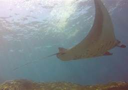 Reef manta ray in Manta Point in Indonesia