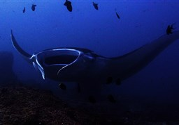 Giant manta in Indonesia