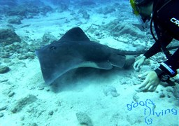 Roughtail stingray in Poco Naufragio in Spain