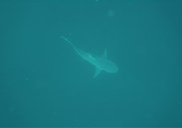 Bull shark in PROTEA BANKS Northern Pinnacle  in South Africa