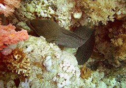Liver-colored moray eel in Ras Mohammed in Ägypten