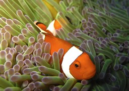 Orange clownfish in Rob's Point in Indonesia