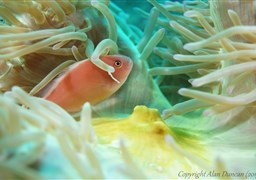 Pink anemonefish in Sail Rock in Thailand