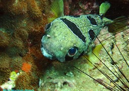 Black-blotched porcupinefish in Sail Rock in Thailand