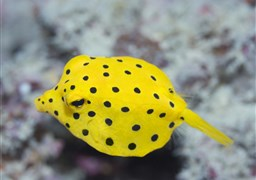 Yellow boxfish in South Point in Malaysia