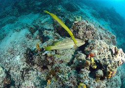 Trumpetfish in South Point in Malaysia