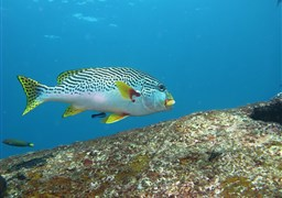 Yellowbanded sweetlips in Tanjung Sari in Indonesia