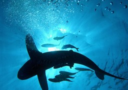 Oceanic whitetip shark in The Brothers in Egypt