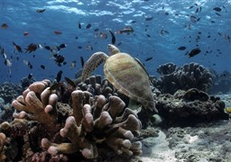 Scuba diving in Turtle Patch in Malaysia