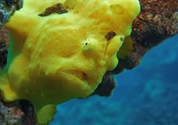 Commerson's frogfish in Two Step, Honaunau Bay, Big Island in United States