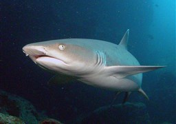Whitetip reef shark in United States