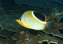 Saddle butterflyfish in United States