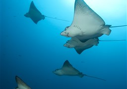 Spotted eagle ray in Wolf Island in Ecuador