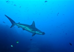 Scalloped Hammerhead in Wolf Island in Ecuador