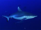 Blacktail reef shark