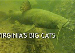 Flathead catfish in United States