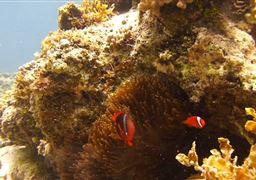 Tomato clownfish in Panglao Island in Philippines